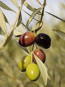 jaen loc olivar 300x400